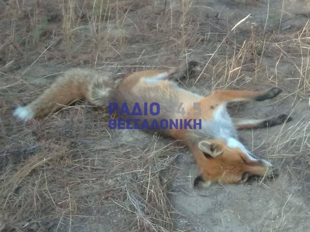 Σιθωνία: Φρικτές εικόνες από δηλητηριασμένες αλεπούδες