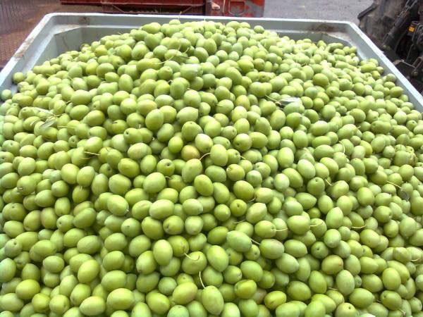 Απ. Πάνας για Χαλκιδική: Πρόβλημα στην τιμολόγηση της πράσινης ελιάς