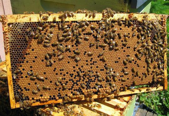 Οι μελισσοκόμοι δίνουν τις τελευταίες ελπίδες στο πεύκο