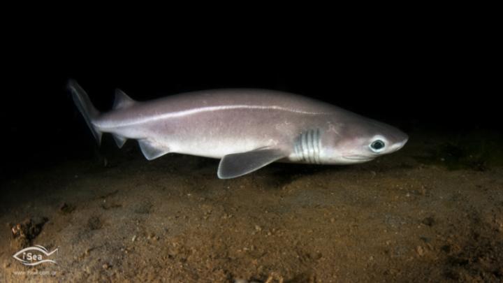 Προστατευόμενο είδος είναι καρχαρίας που αλιεύθηκε πρόσφατα στο Άγιο Όρος