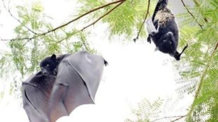 Νυχτερίδες, παγκολίνοι, χοίροι, πτηνά…: τα ζώα που μας μεταδίδουν ιούς